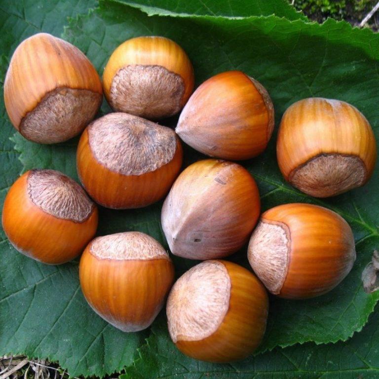 Лесной орех: описание, польза и применение