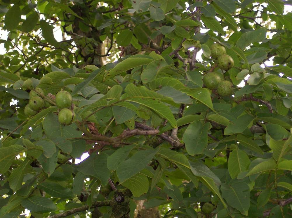 Как обычно растет грецкий орех