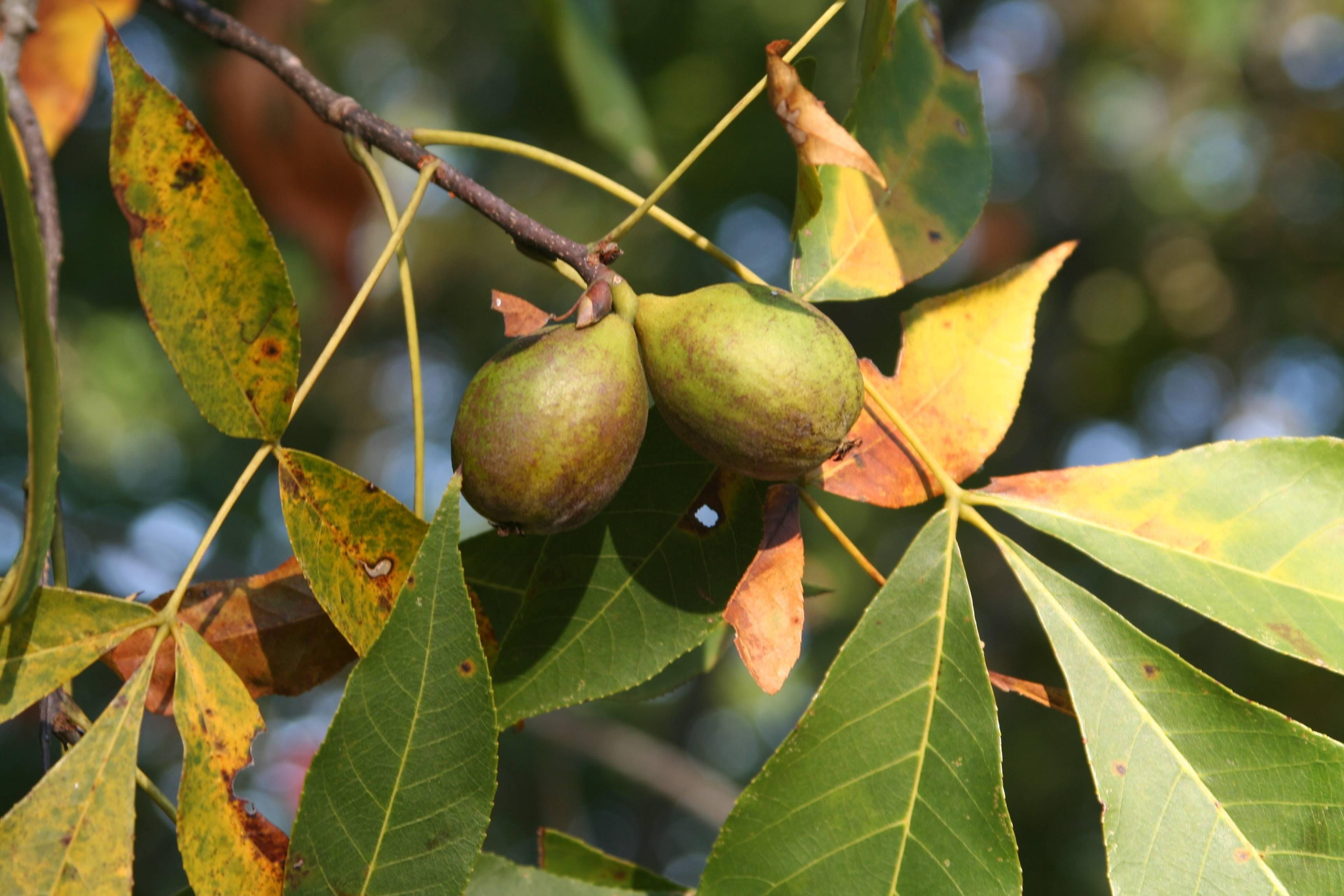 Грецкий орех чандлер: описание сорта и характеристика, урожайность, выращивание и уход