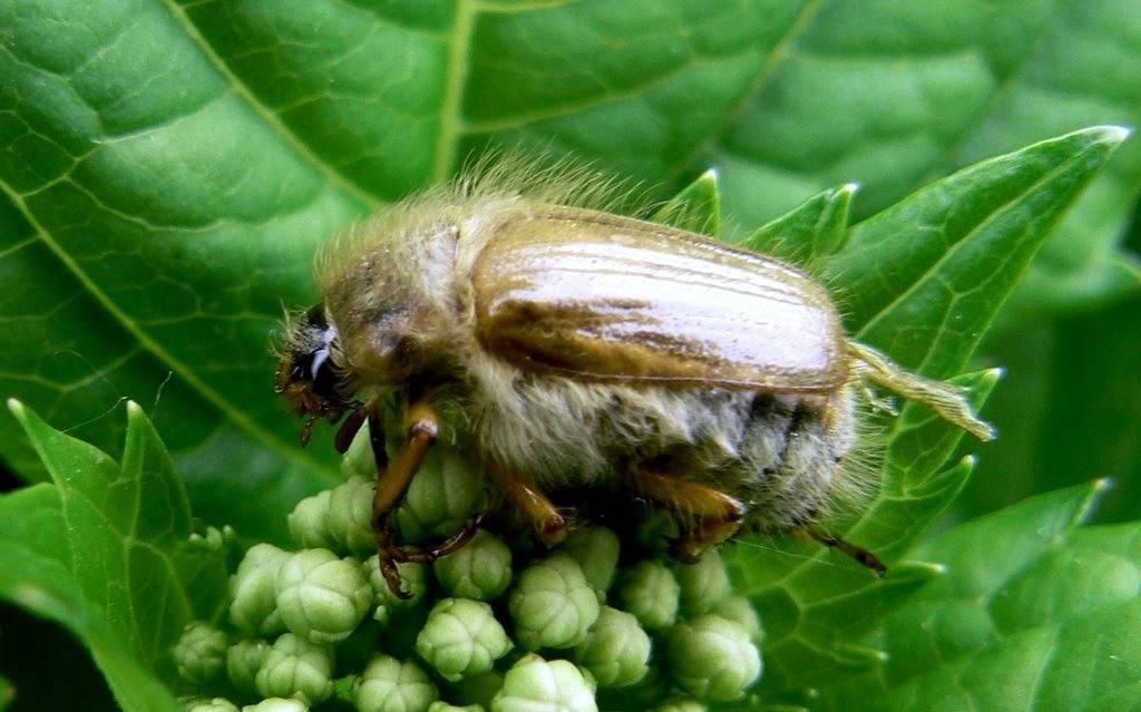 Народные средства борьбы с личинками майского жука
