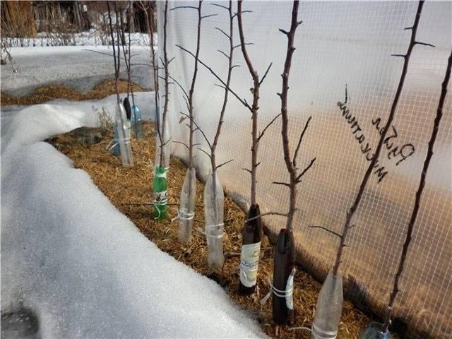Как укрыть абрикос на зиму: правильная подготовка молодых саженцев к морозам, утепеление в разных регионах страны
