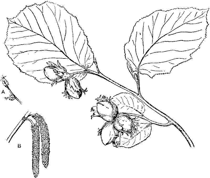 Способы размножения кедрового стланика: черенкование и семенное размножение