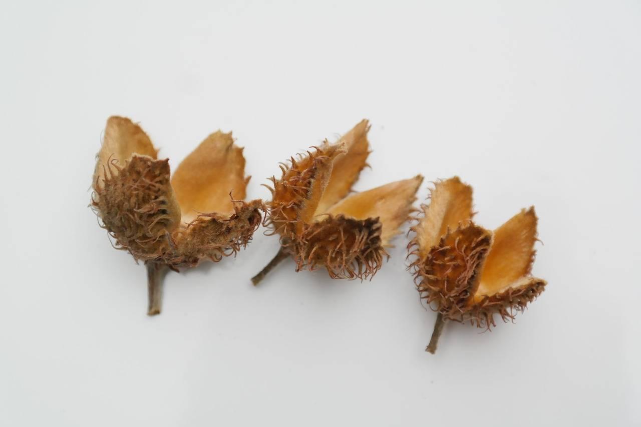 Водяной орех - полезные и опасные свойства водяного ореха