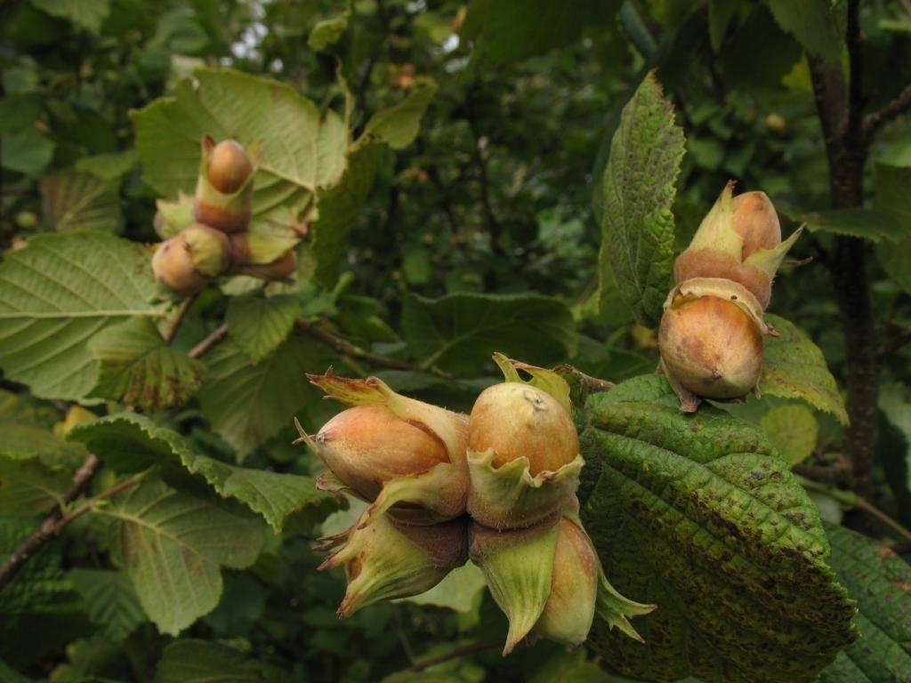 Почему грецкий орех может не плодоносить? | огородник грецкий орех не плодоносит — как исправить ситуацию? | огородник