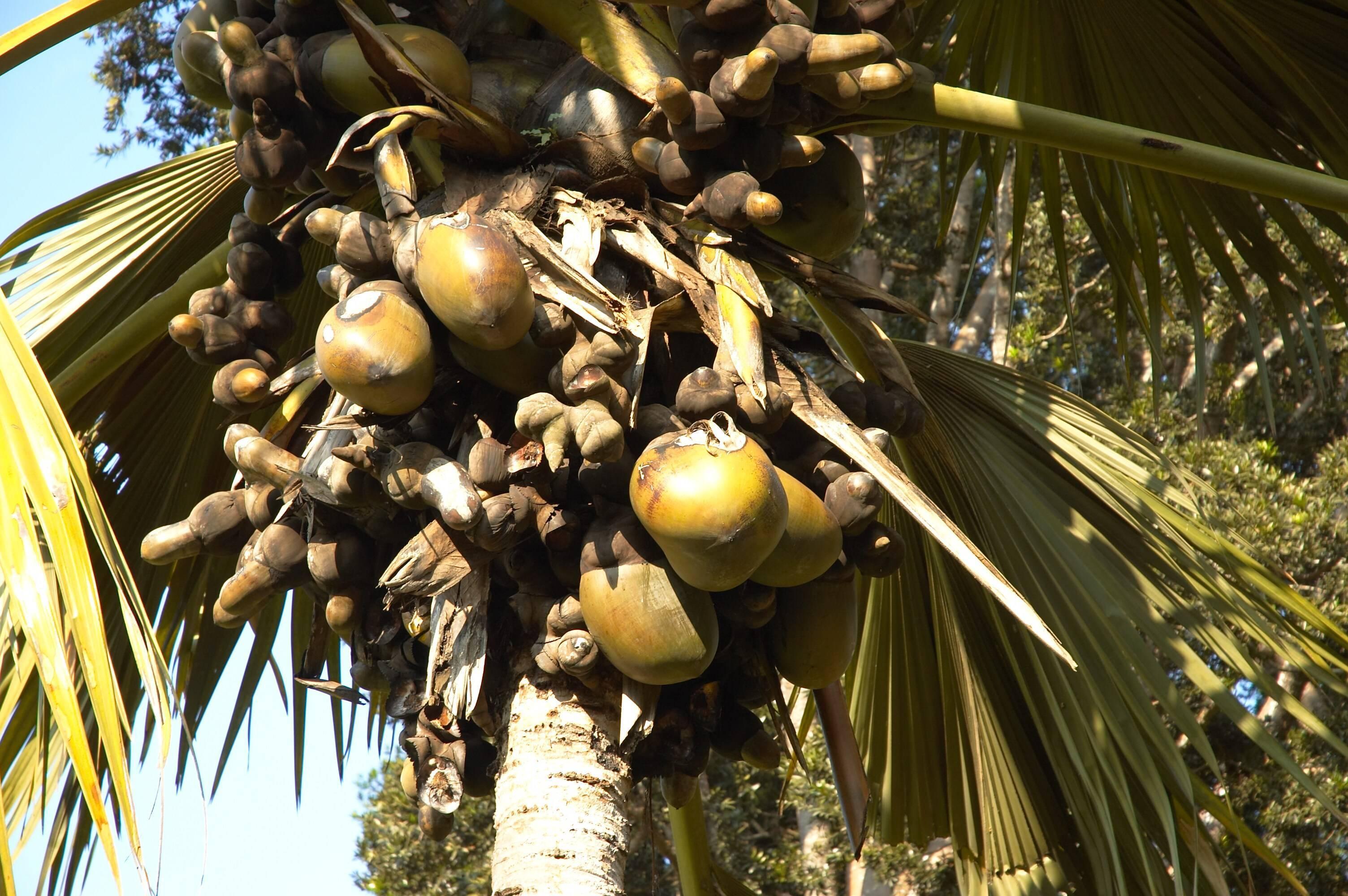 Где растет орех макадамия и когда созревает