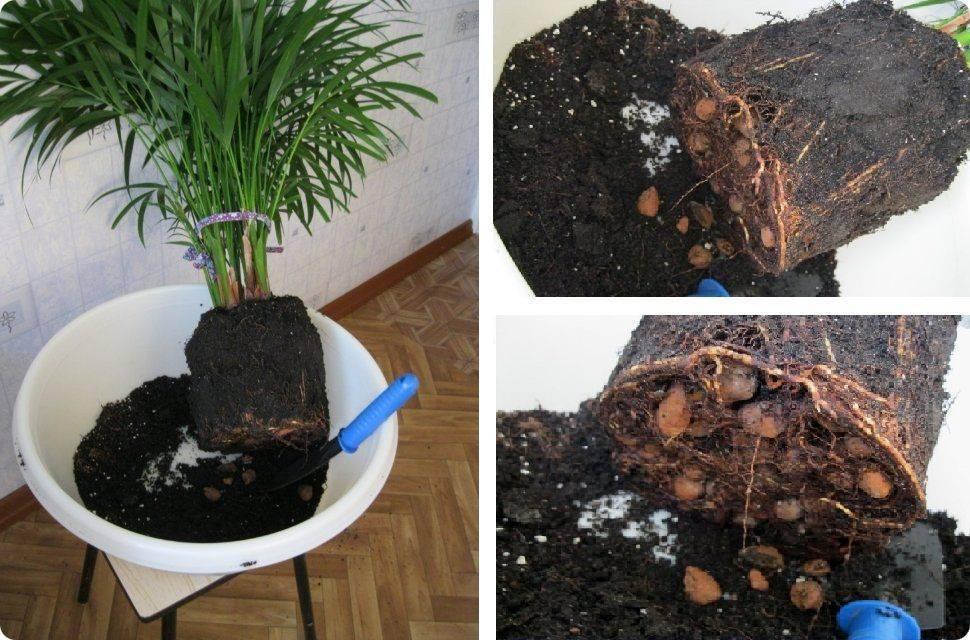 Способы размножения домашней пальмы