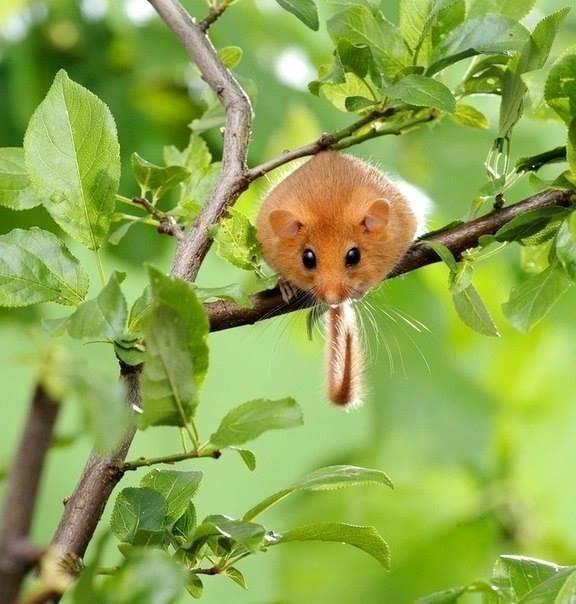 Орешниковая соня: описание, особенности размножения