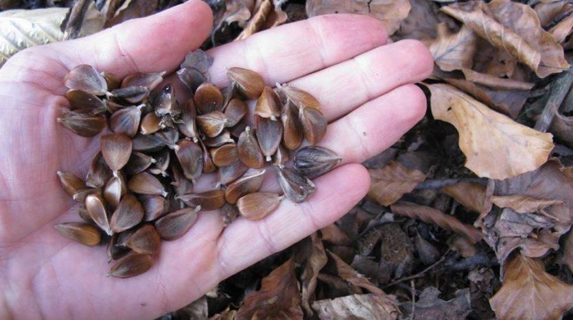 Желуди: можно ли есть, полезные свойства и противопоказания ореховидного плода - орех эксперт