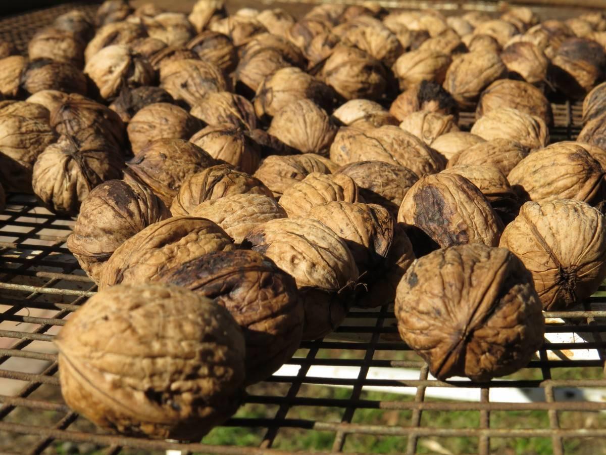 Как и где растет грецкий орех: в россии и мире