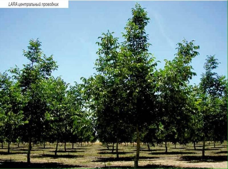 Развитие орехового бизнеса. особенности создания ореховых садов, переработка и реализация продукции