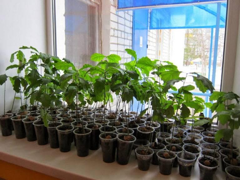 Как в домашних условиях вырастить дуб из желудя в горшке или в саду