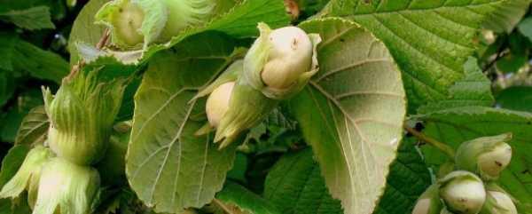 Лещина обыкновенная: полезные свойства листьев, противопоказания для лечебного применения в медицине