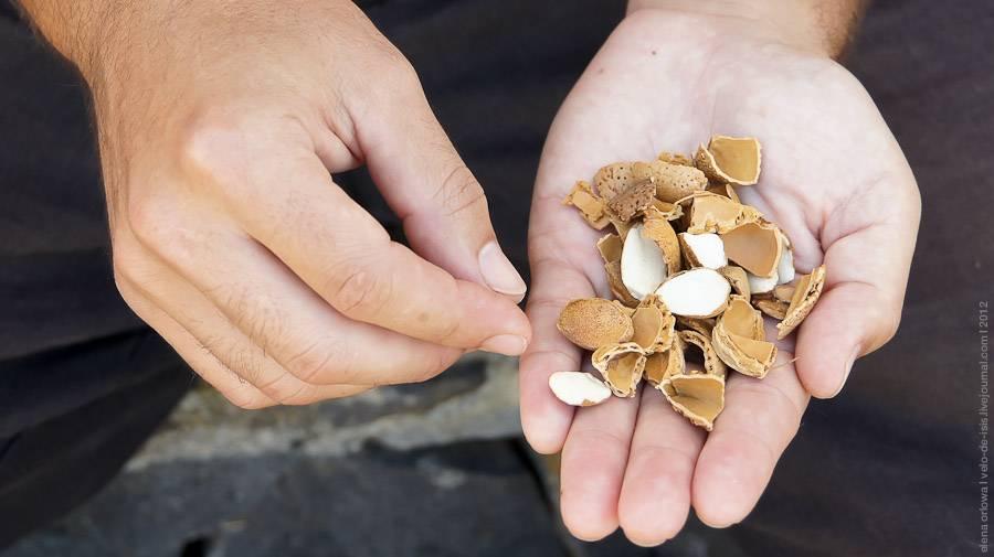 Что общего у сосны и кедрового ореха? как добыть плоды и где растут деревья?