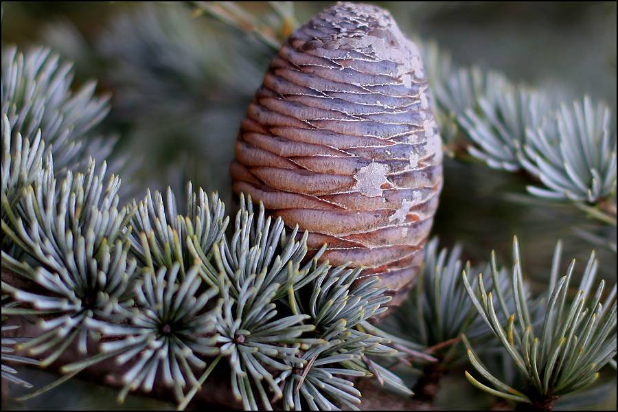 Сонник шишки кедрового ореха. к чему снится шишки кедрового ореха видеть во сне - сонник дома солнца