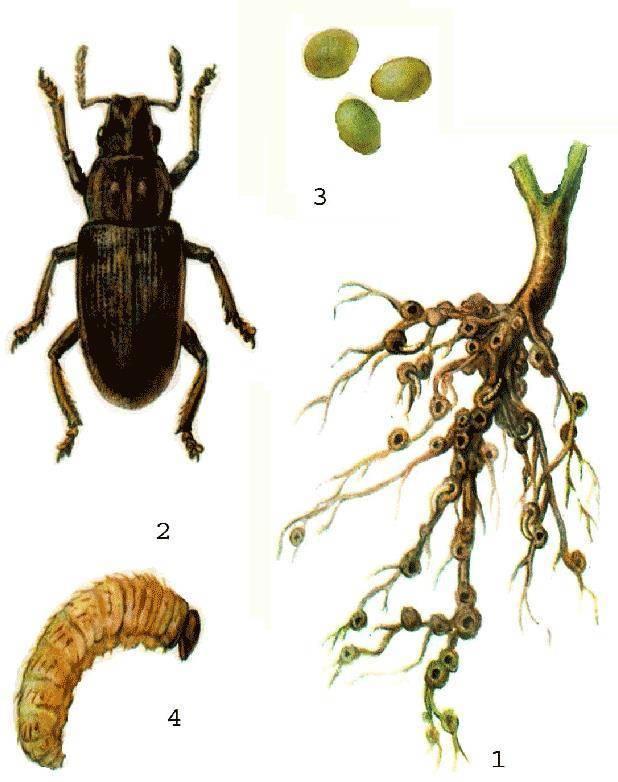 Майский жук: чем питается,размножение,фото,описание,как бороться