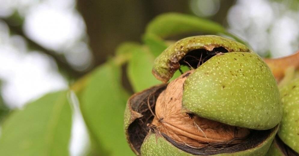 Грецкий орех самохваловичский-2: описание сорта, преимущества и недостатки, польза и вред, правила выращивания и посадки, а также способы борьбы с вредителями