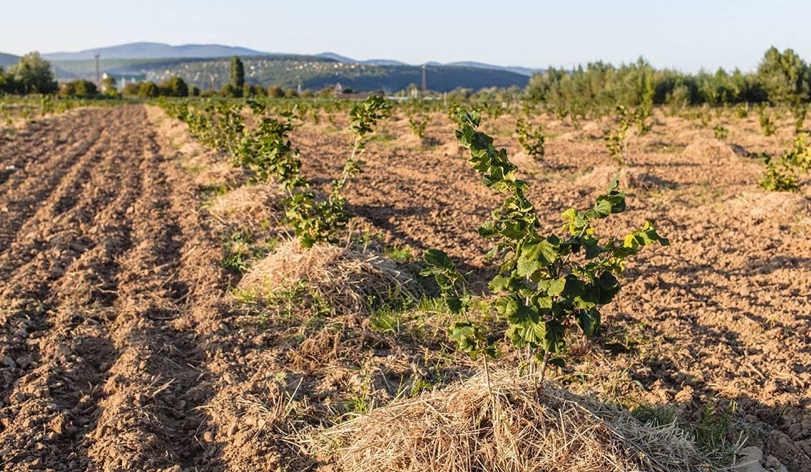 Промышленное выращивание фундука в домашних условиях как бизнес: технология, саженцы, урожайность