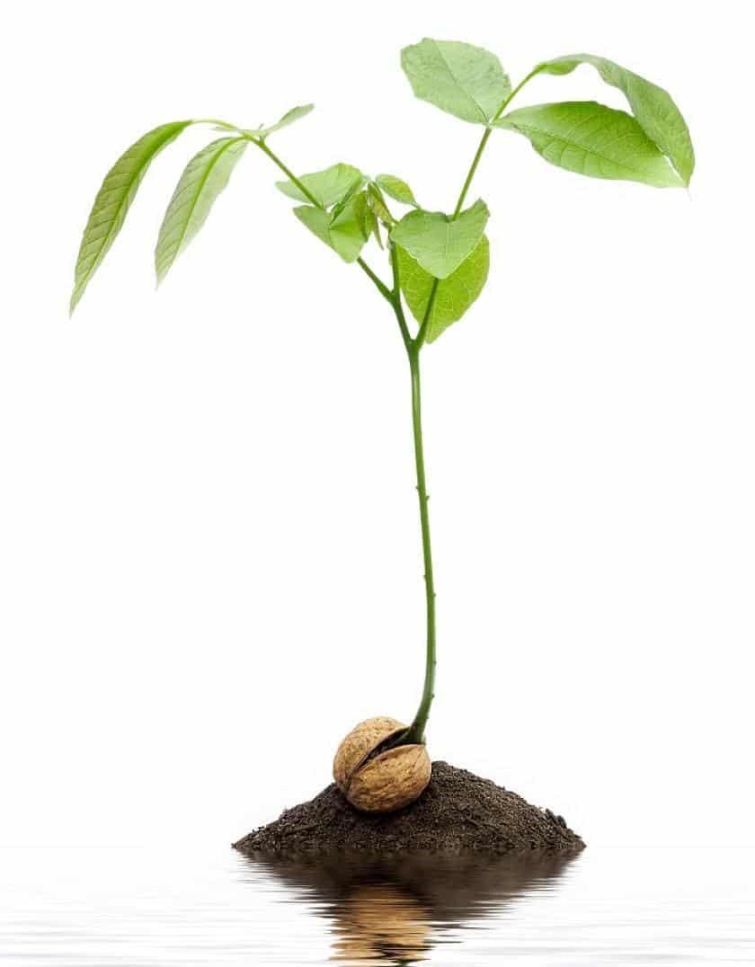 Как вырастить и посадить фундук из ореха в домашних условиях