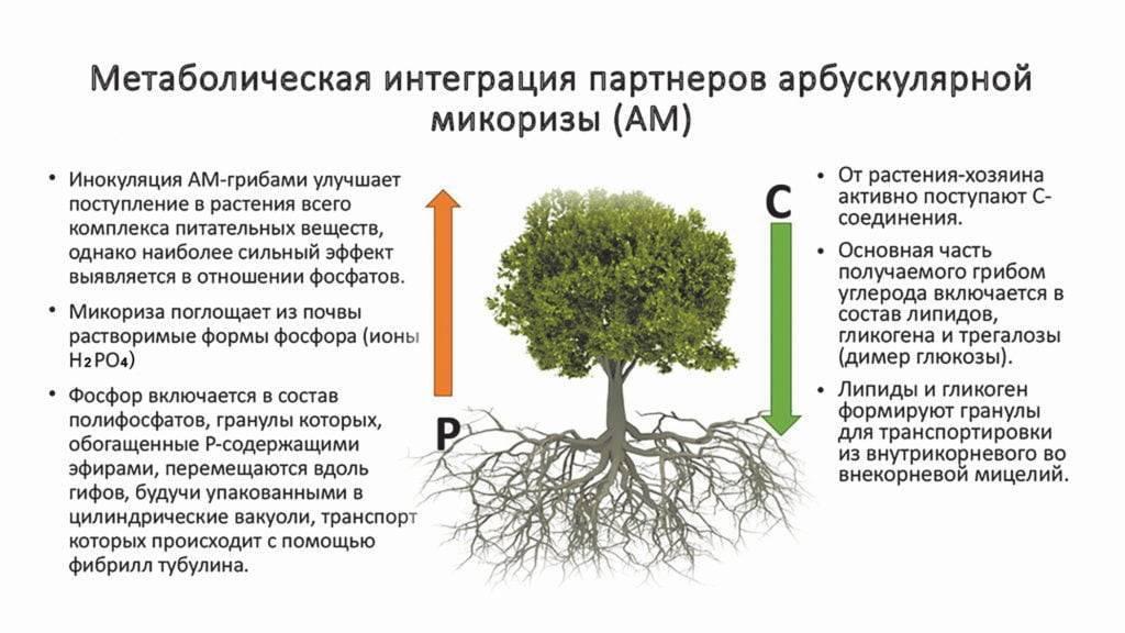 Микориза – симбиоз гриба и растения. микориза и ее роль в жизнедеятельности растений