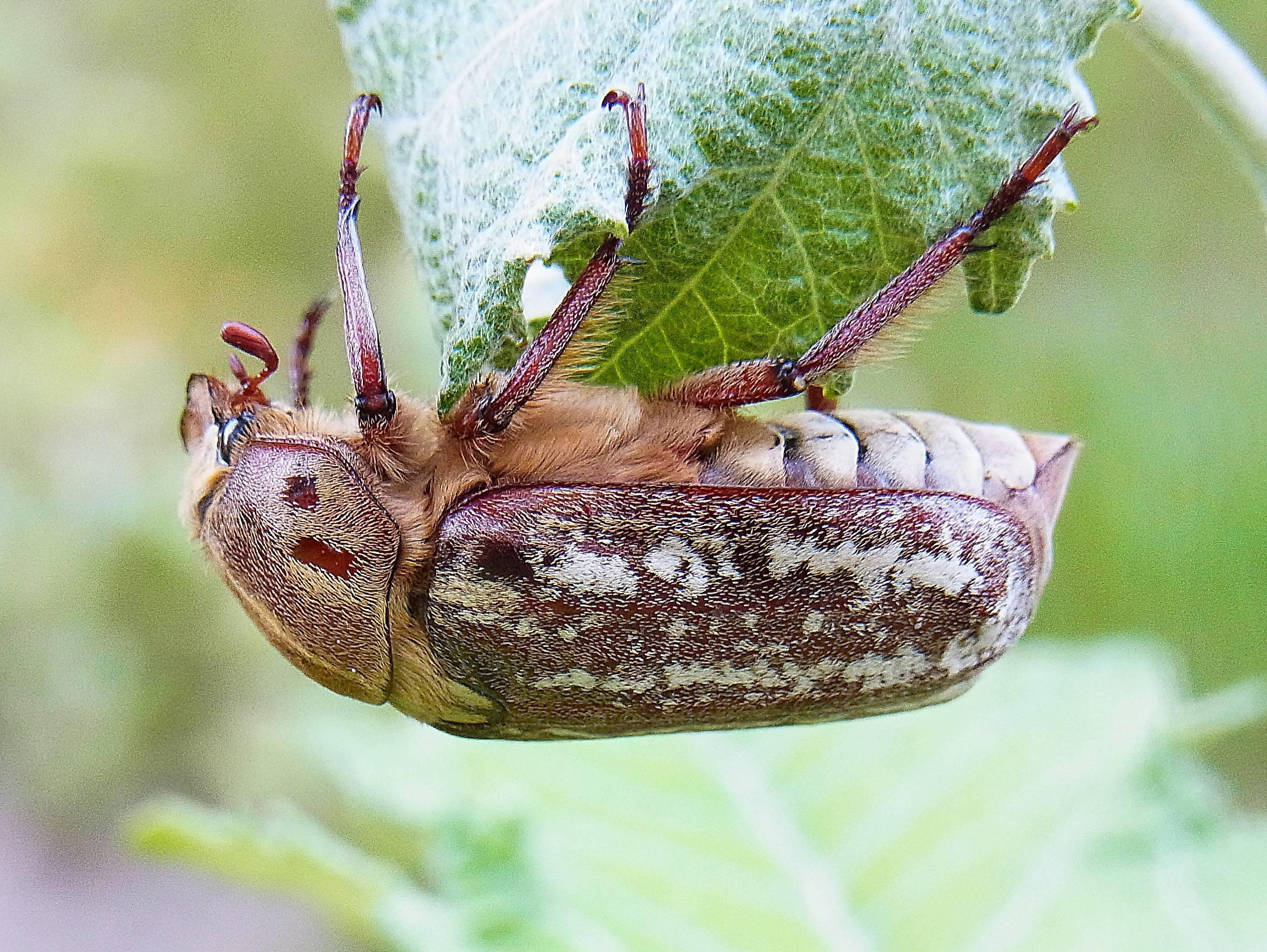 Хрущ майский и нехрущ июньский: жуки и их личинки