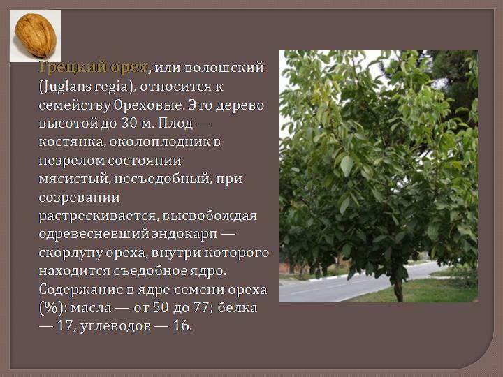 "Грецкий орех ""идеал"": описание, посадка и уход, фото"