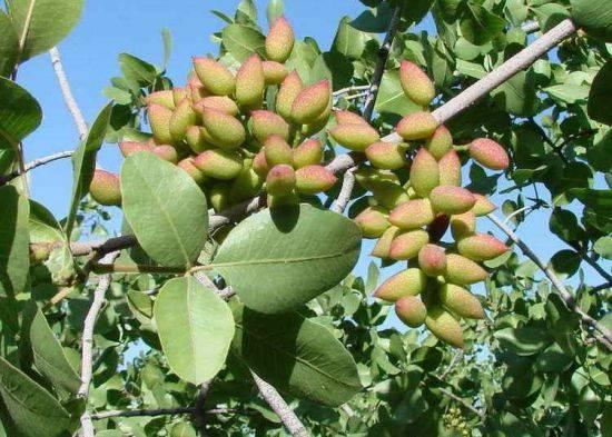 Фисташковое дерево: как растут фисташки на деревьях и выращивание в домашних условиях