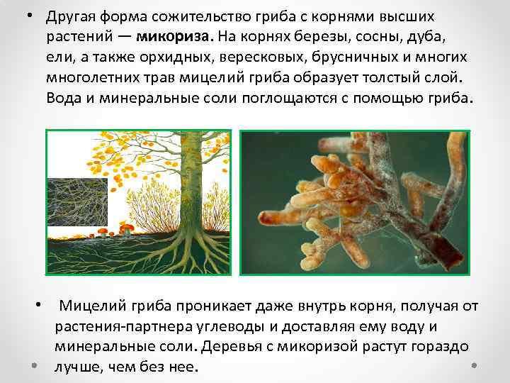 Биологическое определение микориза и ее польза для растений