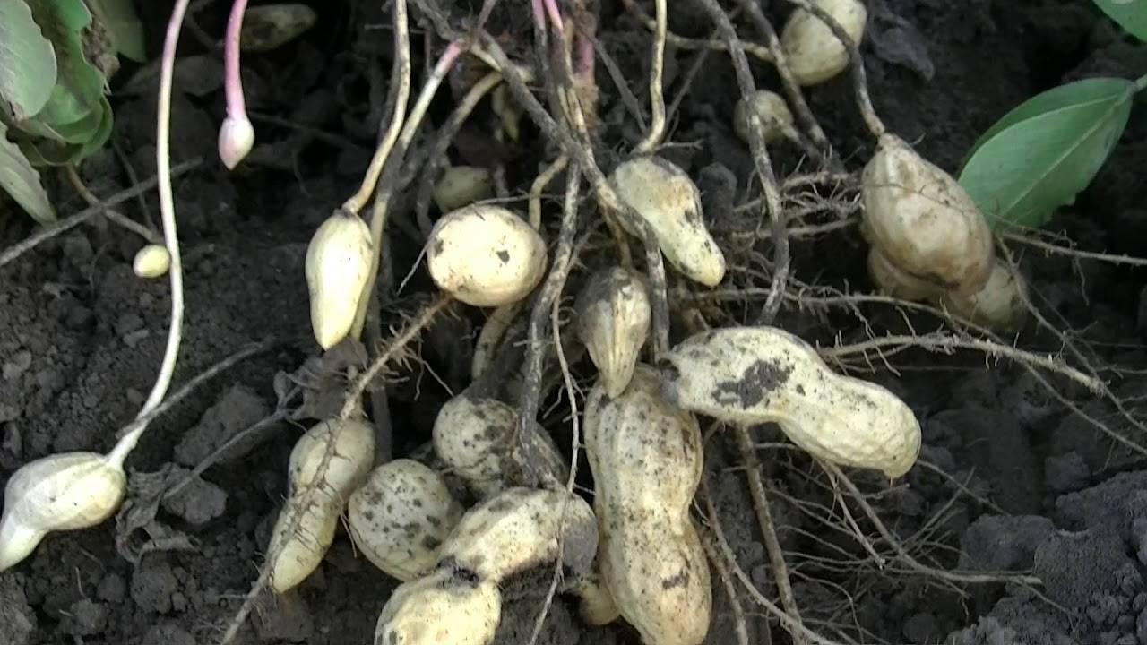 Как посадить арахис на огороде или на даче: правила и сроки посадки в открытый грунт (описание с видео)