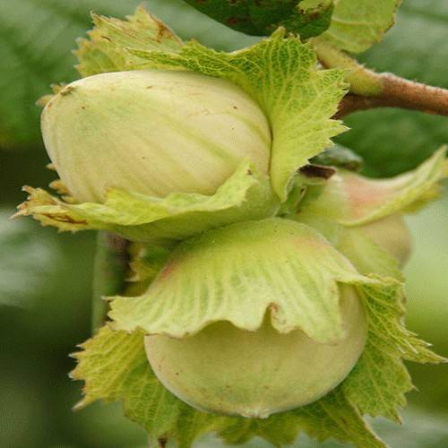 Лещина (лесной орех) и фундук: в чем разница, чем отличается лещина (лесной орех) и фундук: в чем разница, чем отличается