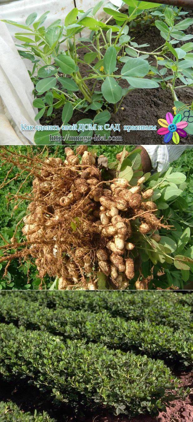 Рекомендации огородникам, как вырастить хороший урожай арахиса