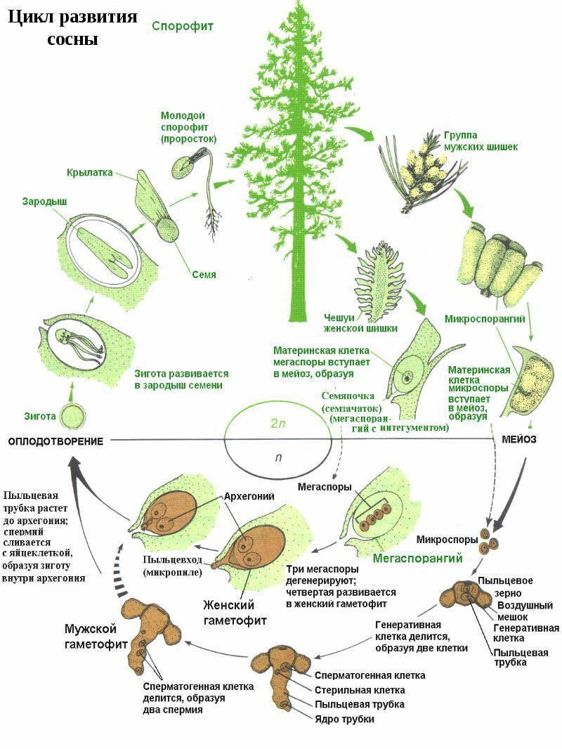 Генлисея хищное растение виды генлисеи с фото и названиями выращивание и уход в домашних условиях
