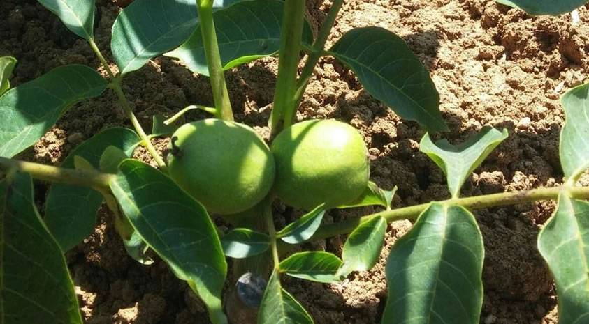 Фото грецкого ореха: как цветет? описание сортов грецкого ореха