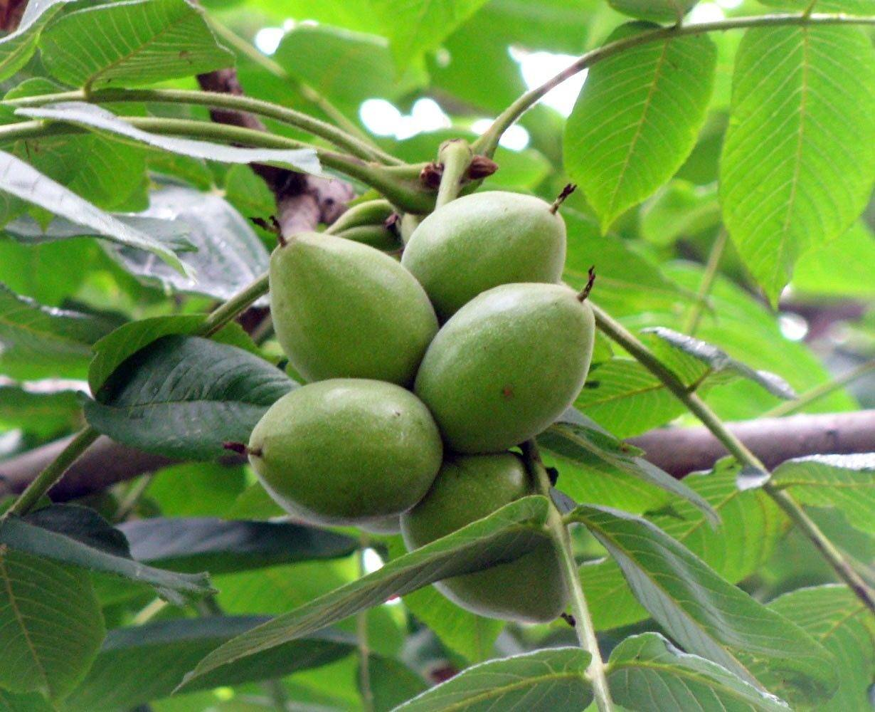 Как вырастить маньчжурский орех самостоятельно
