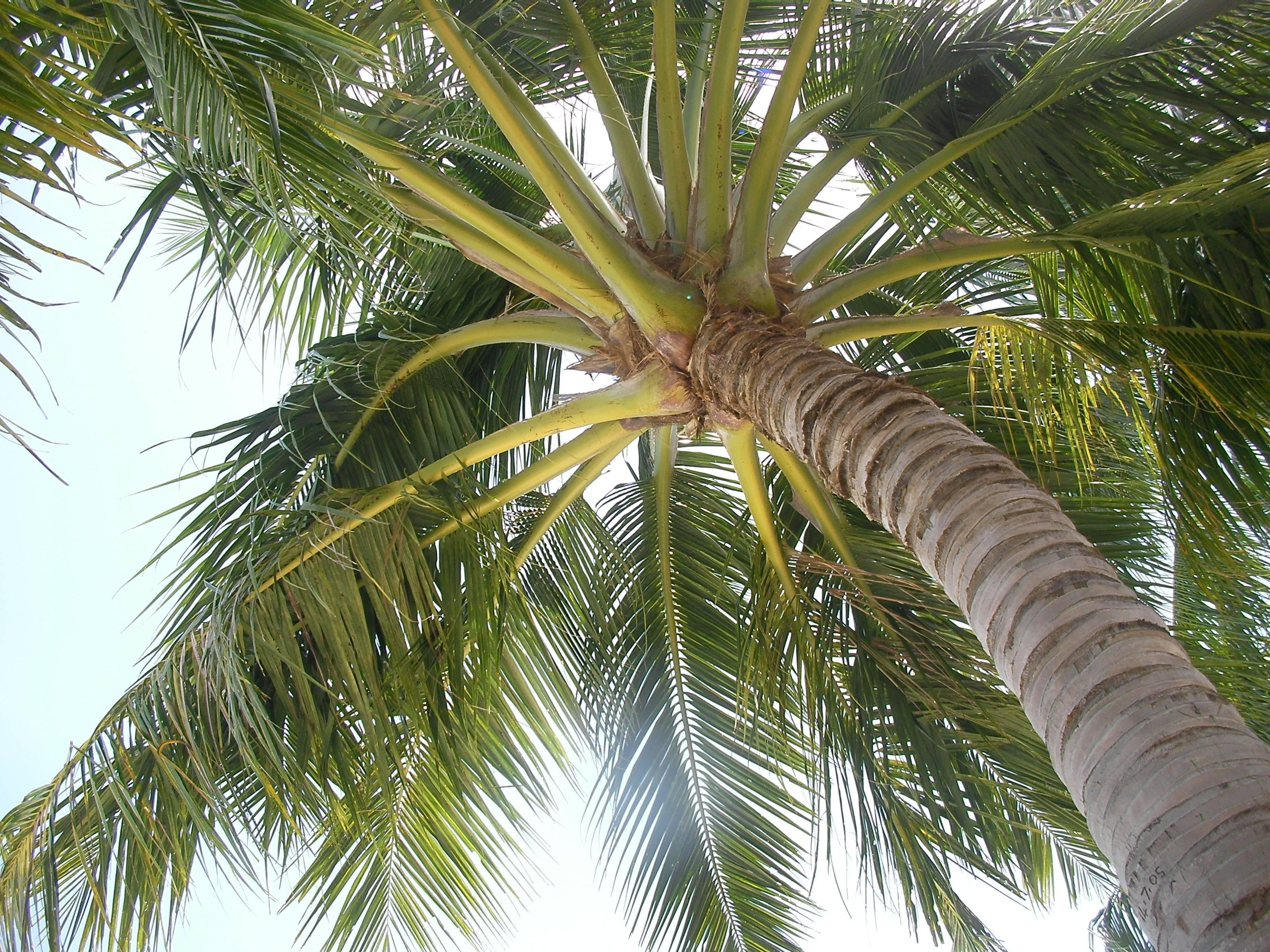 Что растет на пальме? семейство пальмовые. кокосовая пальма. финиковая пальма. королевская пальма