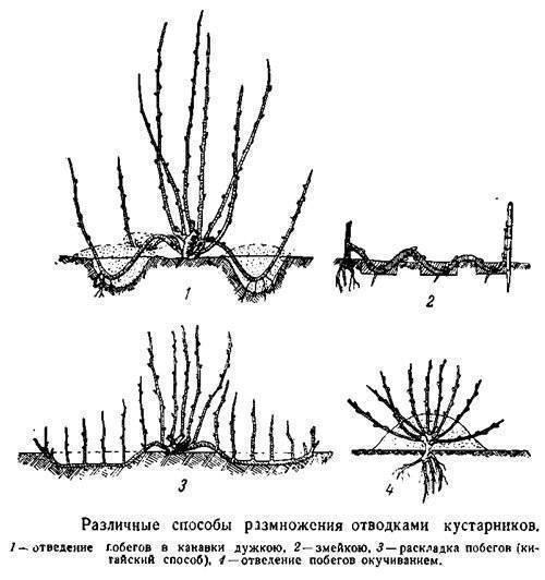 Как размножить фундук — дачница