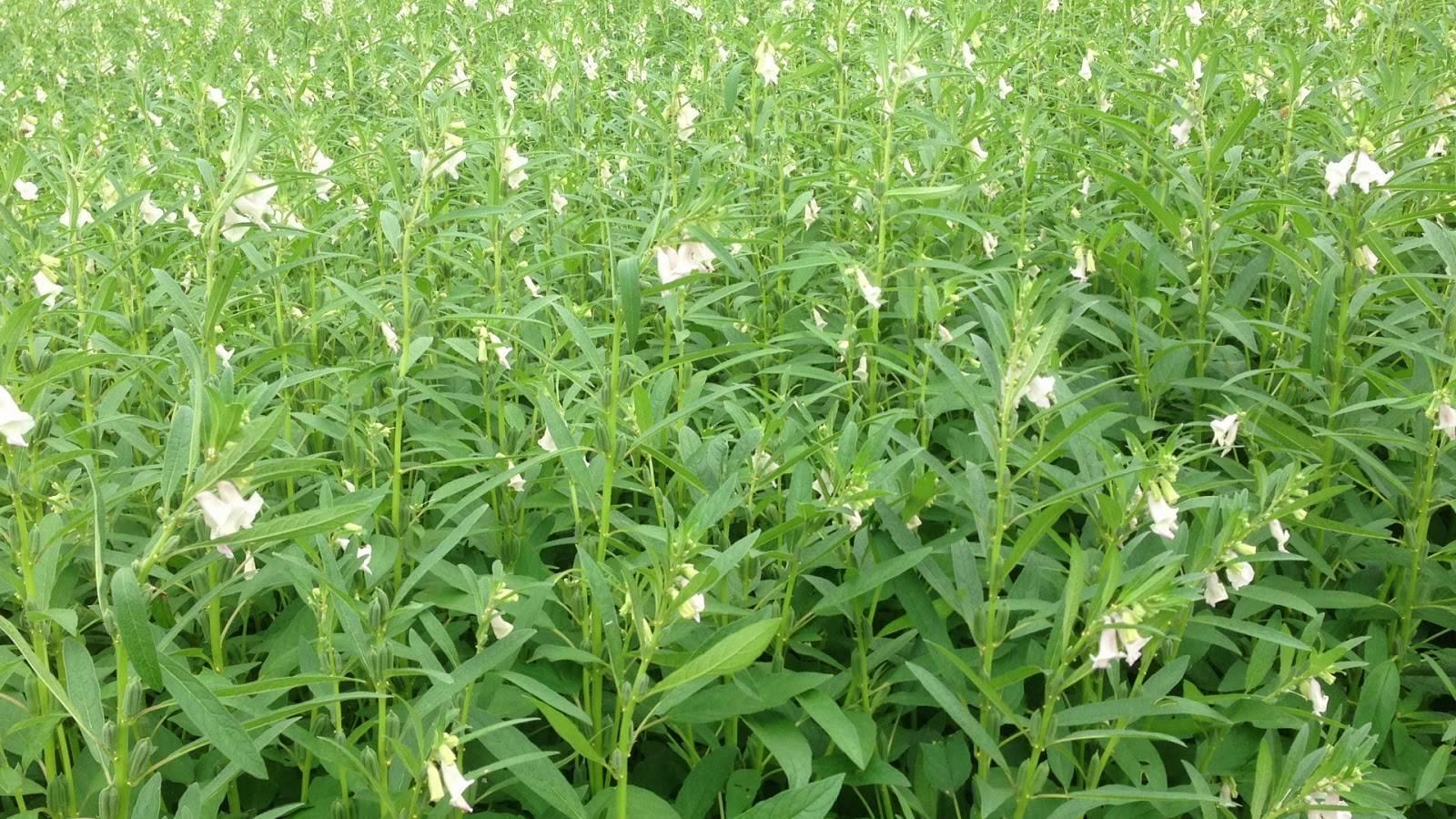 Как растет кунжут: места произрастания полезного растения в россии