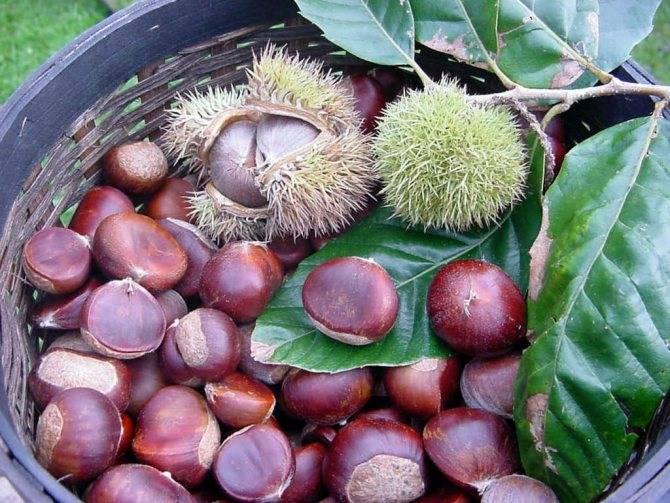 Виноград, фундук и маракуйя. что выращивают куряне