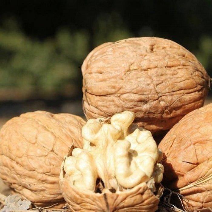 Размножение орехов: грецкого, черного и сердцевидного | сайт о саде, даче и комнатных растениях.