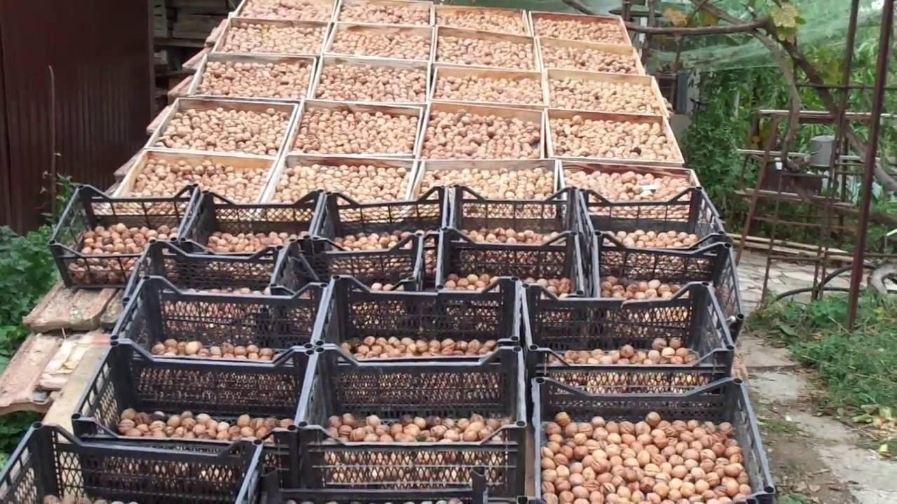 Бизнес на выращивании фундука в домашних условиях