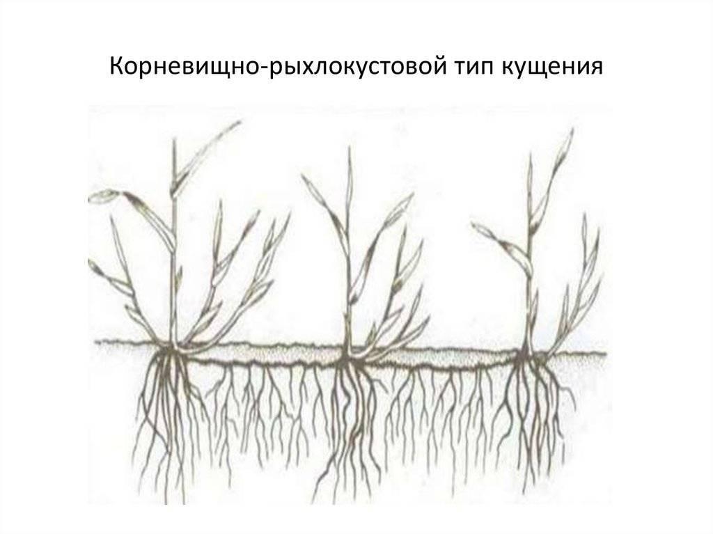 Как размножить лещину