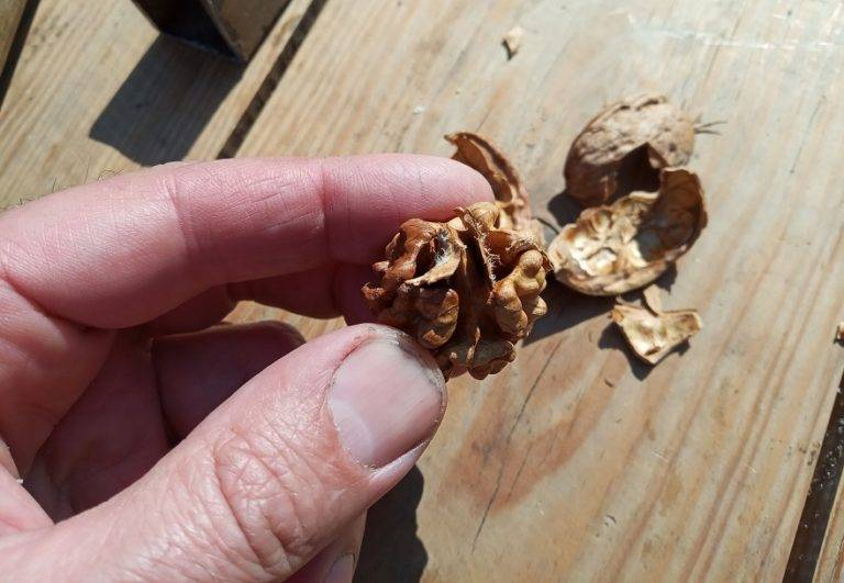 Болезни грецкого ореха: причины возникновения, методы борьбы - дача