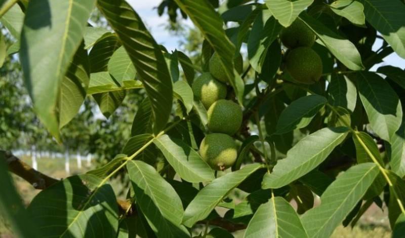 как вырастить грецкий орех из семян