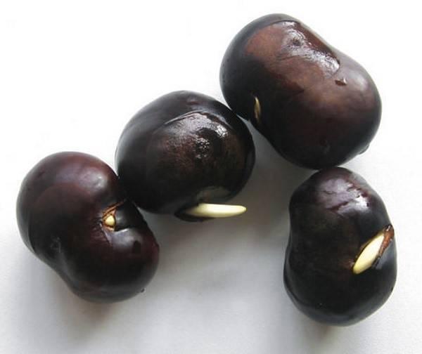 Как посадить каштан из ореха на своем участке