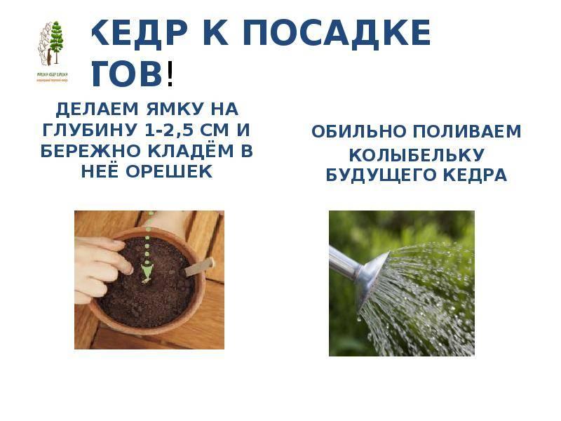 Как выращивать и особенности сорта ореха идеал