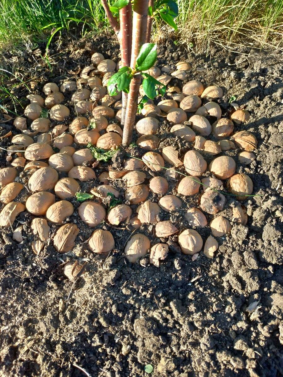 Яичная скорлупа — ваш незаменимый помощник на даче