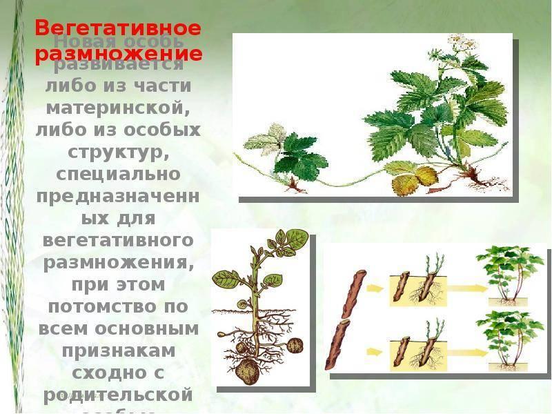 Вегетативное размножение декоративных растений (цветов) | good-tips.pro