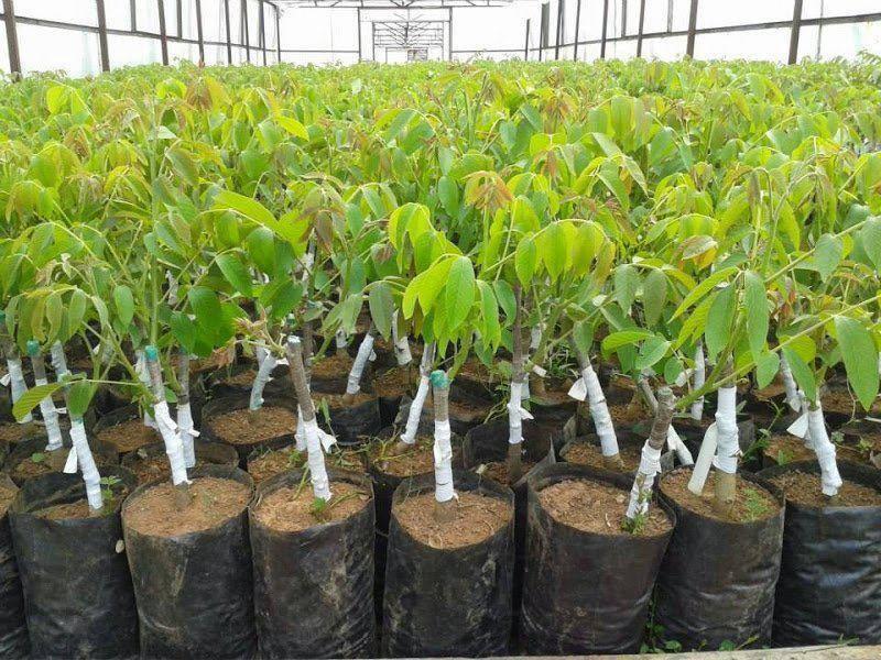 Как вырастить арахис на даче в средней полосе: выращивание земляного ореха в открытом грунте, а также когда посадить его на огороде, можно ли сажать в подмосковье?