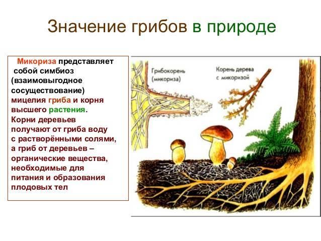 Роль микоризы в жизни растений и определение этого явления, которое дает биология
