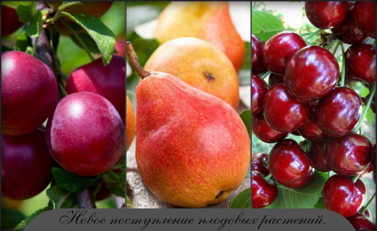 Выращивание грецкого ореха. часть 2 посадка и уход за саженцами | аппяпм