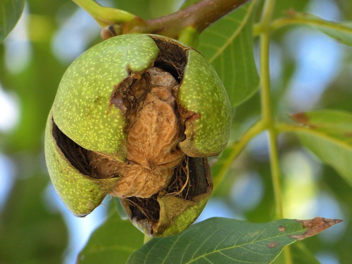 Вредители и болезни грецкого ореха: почему не плодоносит, методы борьбы и лечения